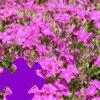 Dianthus Jigsaw