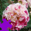 Fourth of July Rose Jigsaw A Free Jigsaw Game