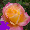 Peace Rose Jigsaw