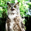 Jigsaw: Owl