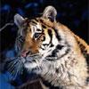 FTA - Tigers