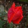 Rose 2 Jigsaw Puzzle