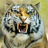 Siberian Tiger A Free Action Game