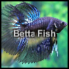 Betta Fish A Free Puzzles Game