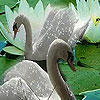 Fabulous swans hidden numbers