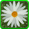 Daisy of Love A Free BoardGame Game