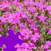 Dianthus Jigsaw A Free Jigsaw Game